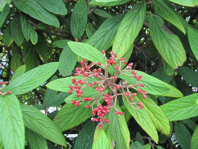 This viburnum shrub comes from China