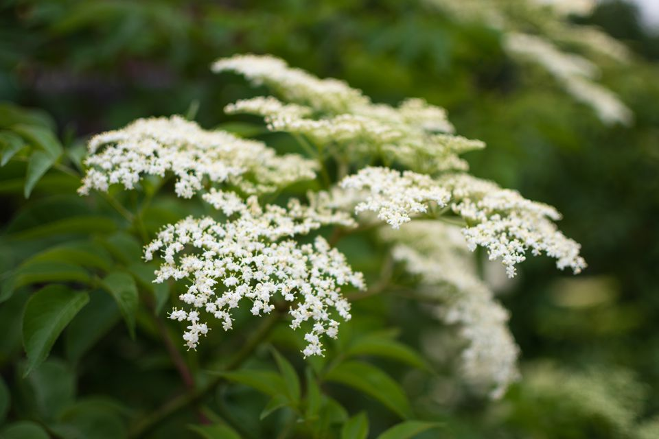 American elderberry shrub with tiny white flower clusters on branches closeup