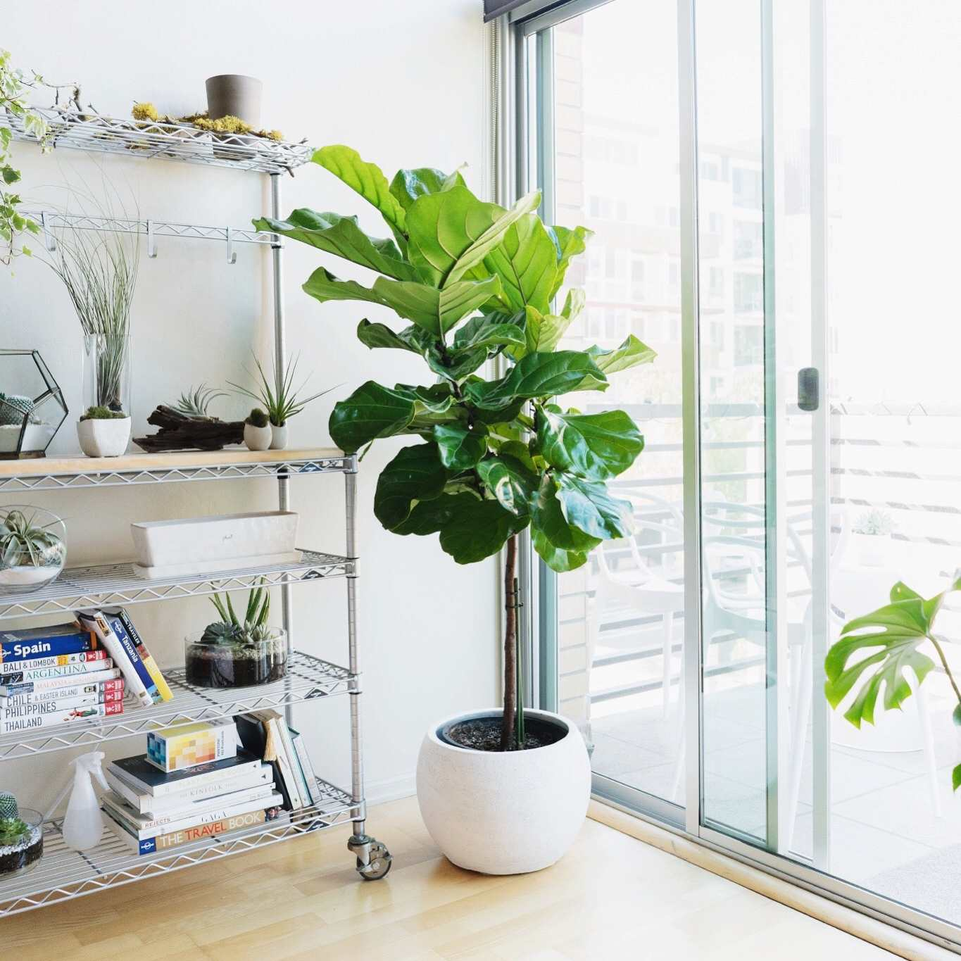 fiddle leaf fig tree indoors