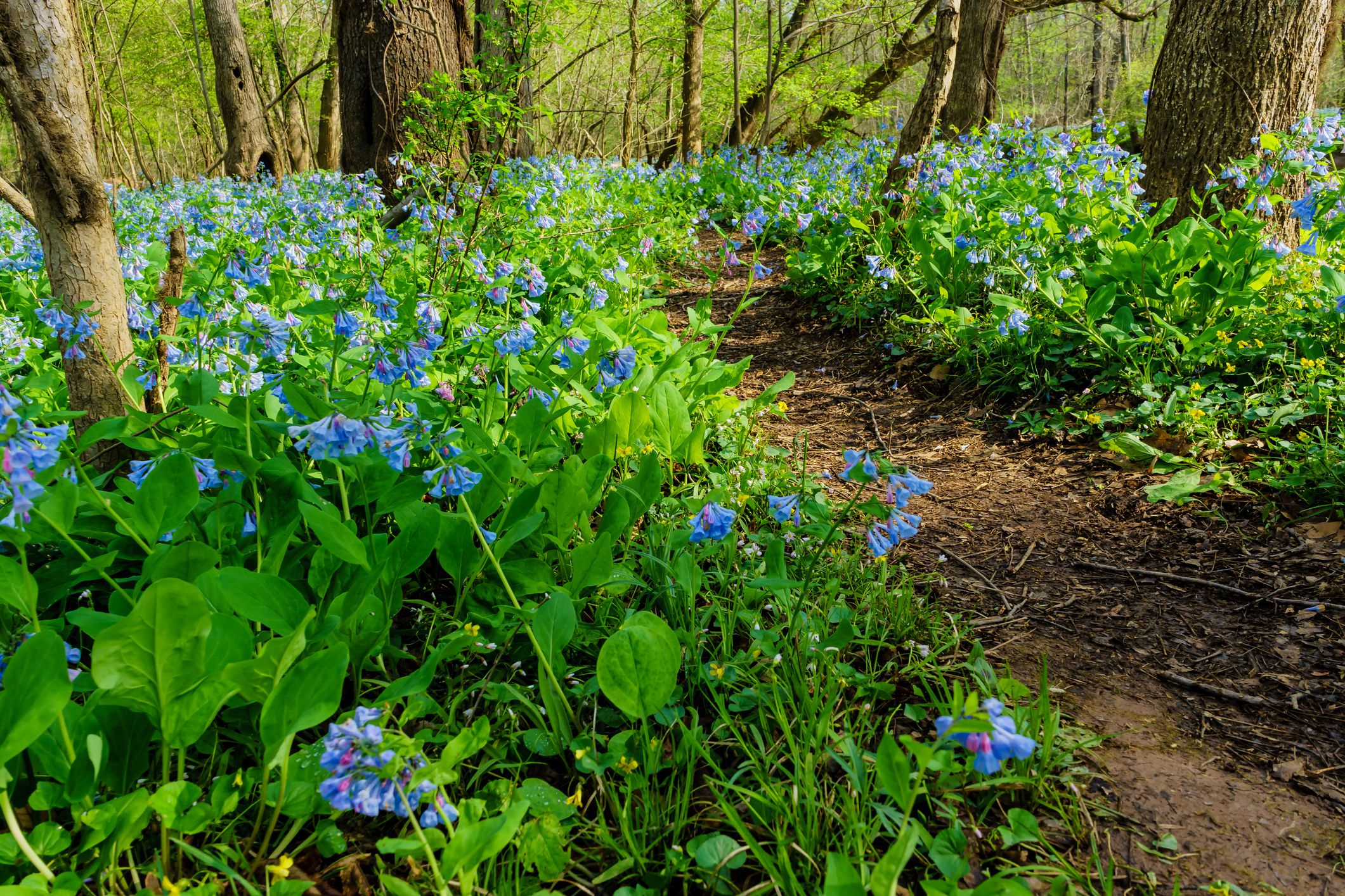 Mass of Virginia bluebells flowering in the woods.