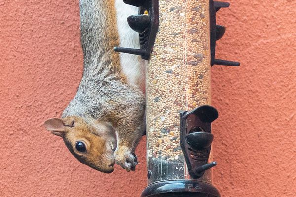 squirrel eating from a bird feeder