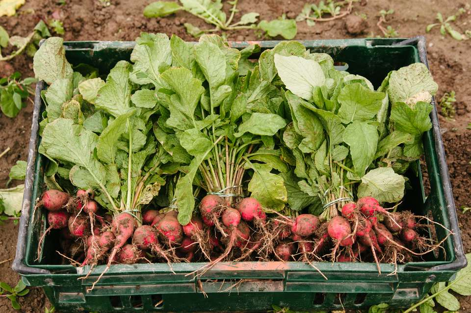 freshly-harvested radish bundles