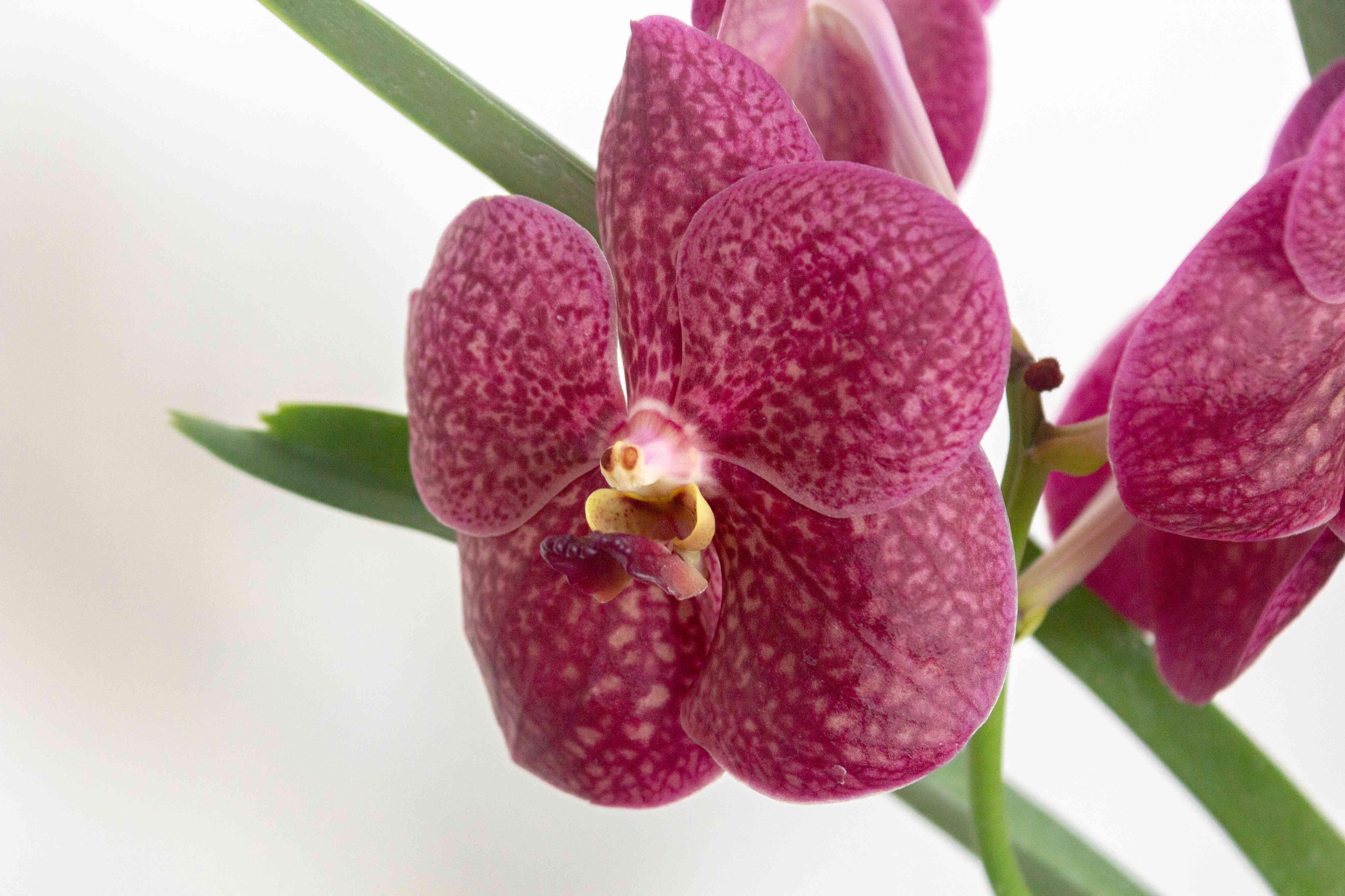 closeup of a vanda orchid bloom