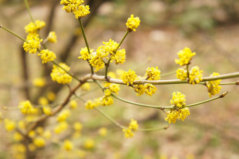 The branches of a male spicebush in the spring adorned with small yellow flowers.