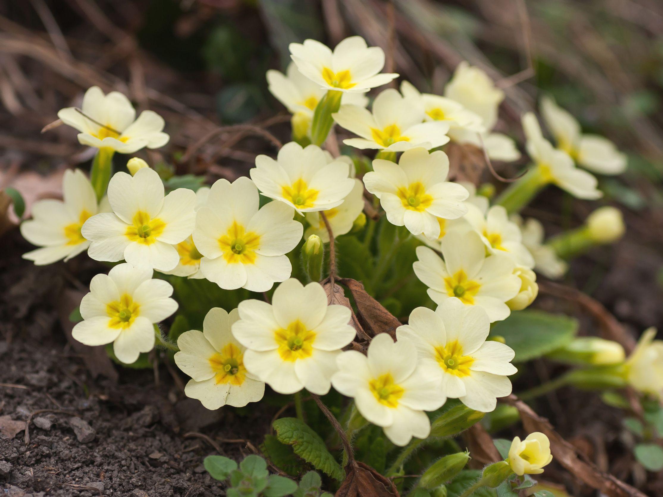 Using Primroses In The Spring Garden
