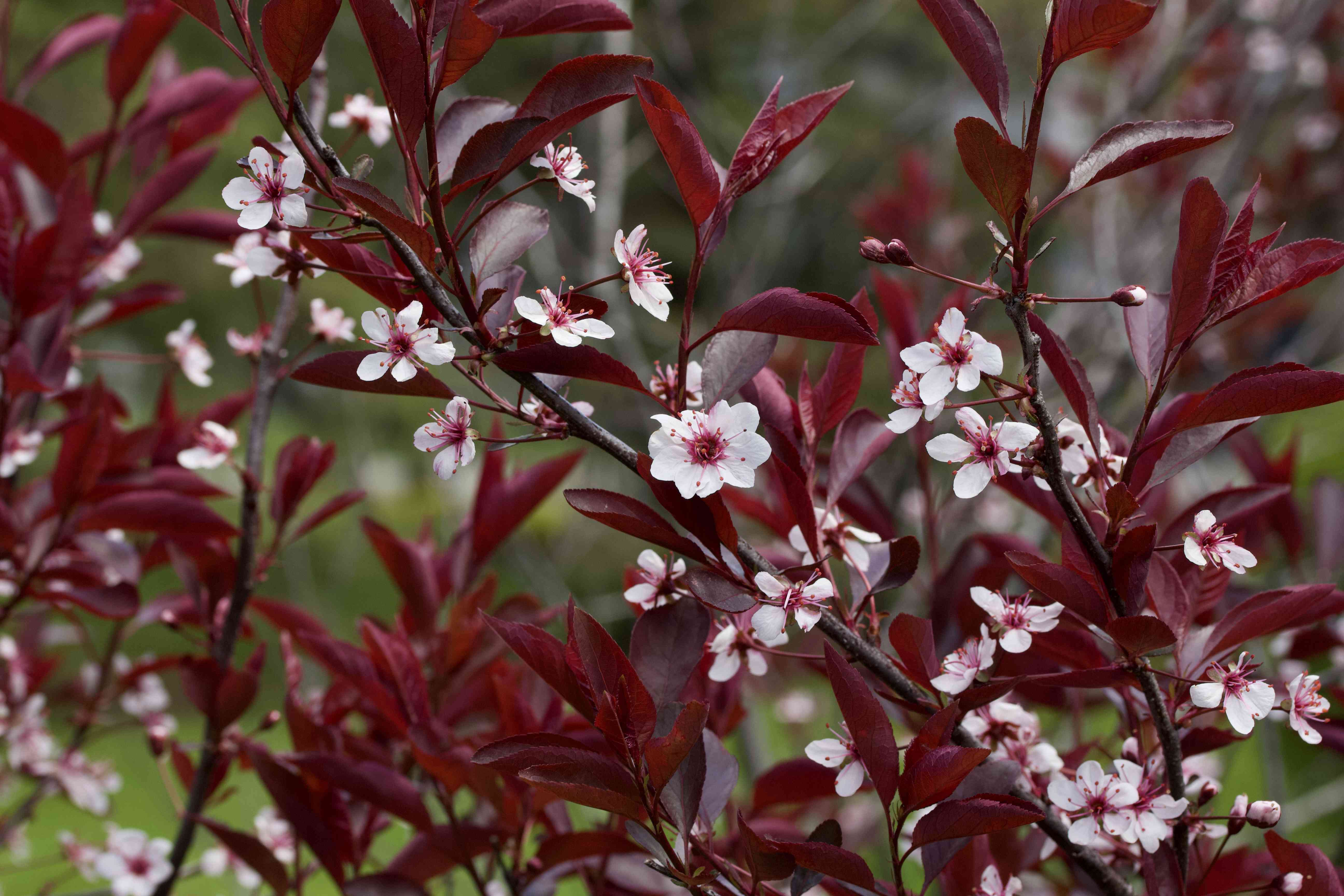 Close up view of attractive white flowers on a purple leaf sand cherry bush