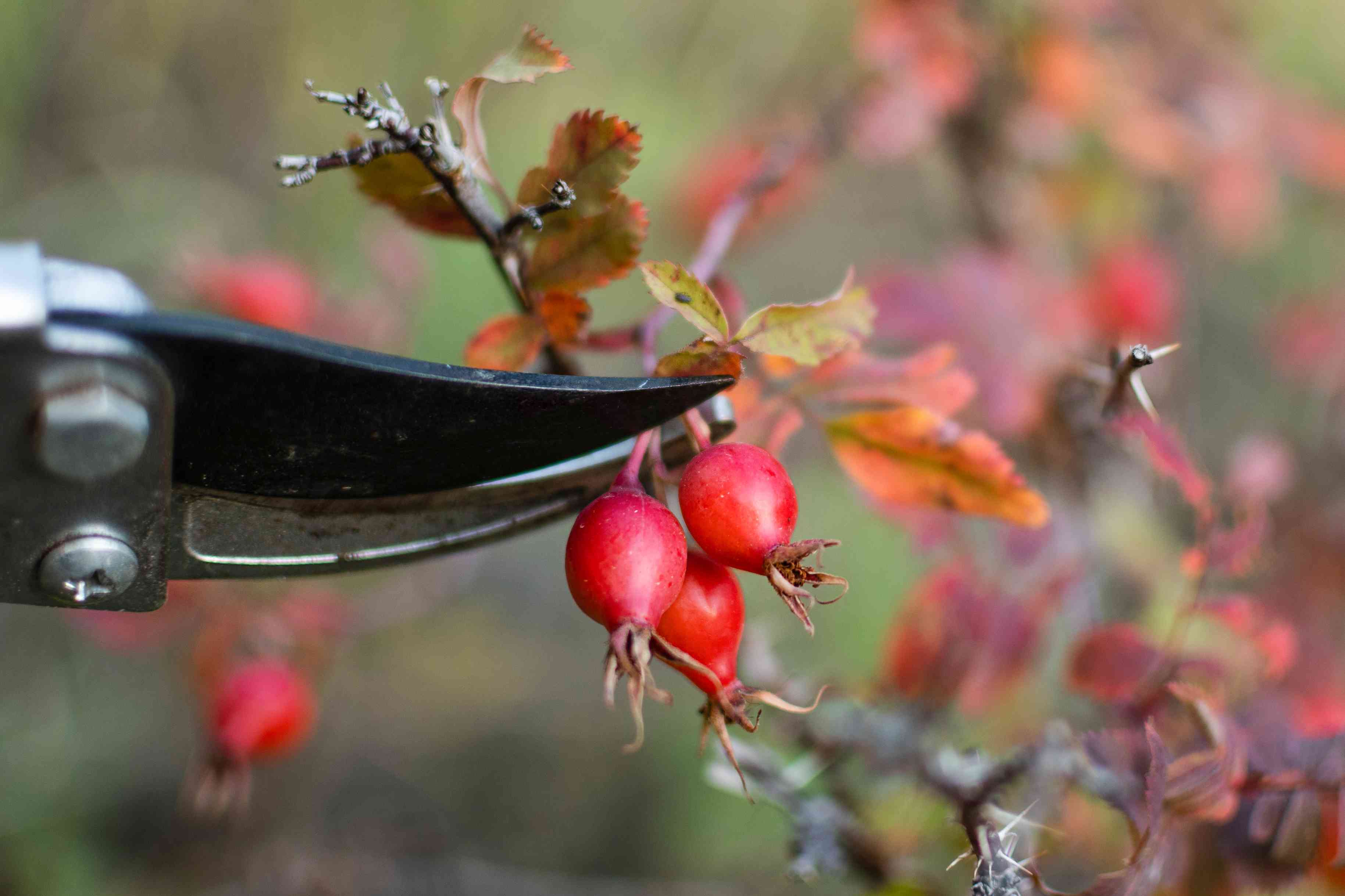 Ripe rose hips cut off from branch with pruners closeup
