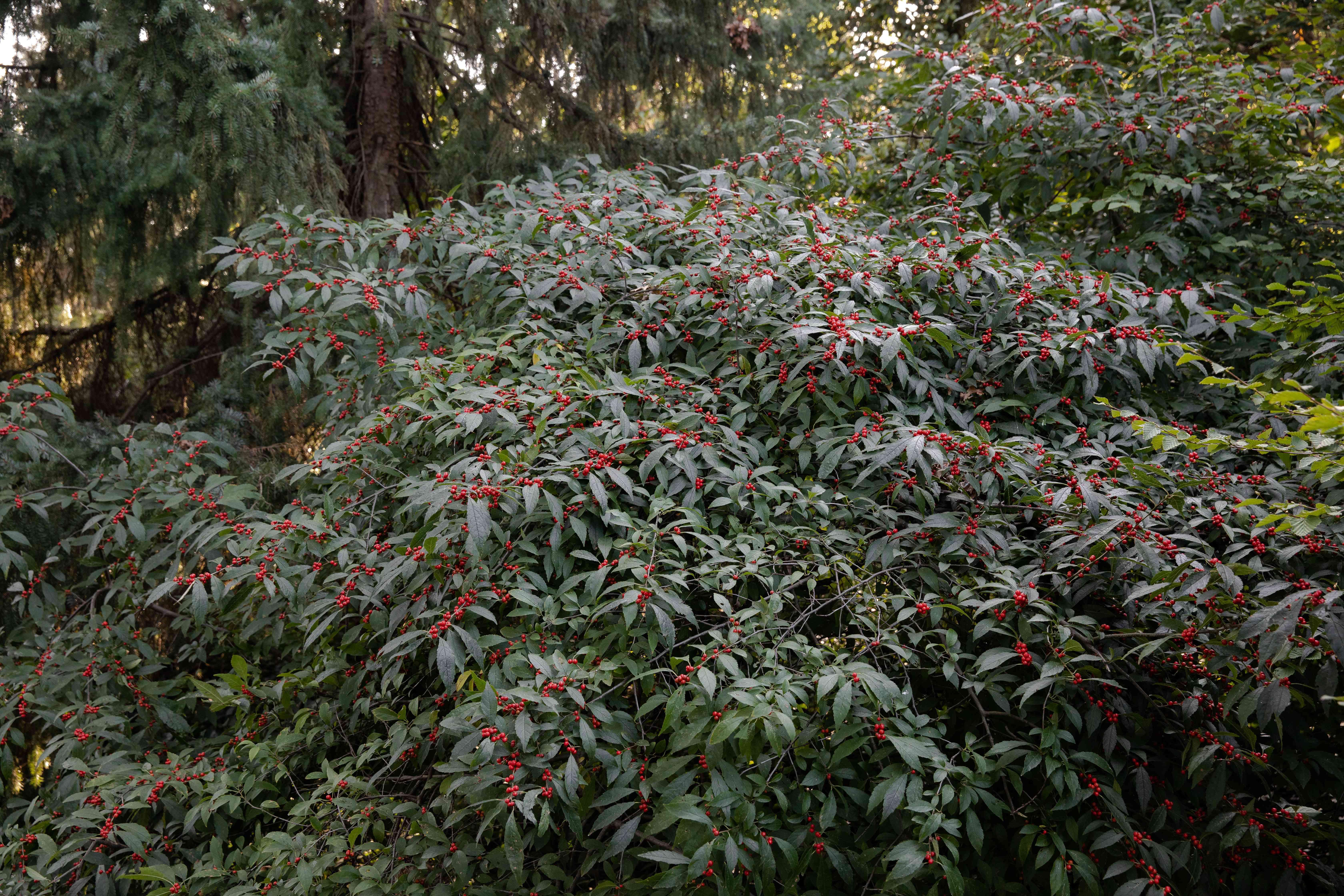 winterberry holly shrub