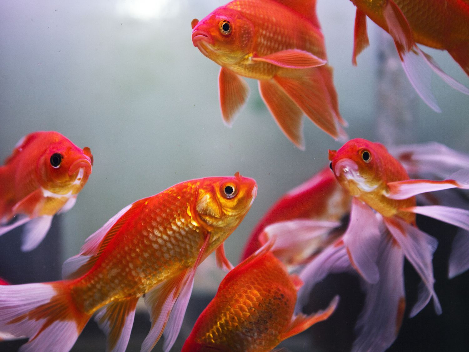 Fish for Wealth: All About the Feng Shui Aquarium