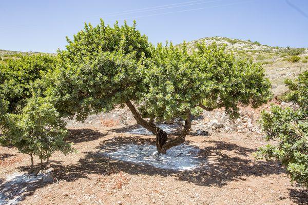 A mastic tree on an arid hillside in Greece.