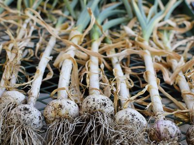 Garlic plants with roots lying next to each other