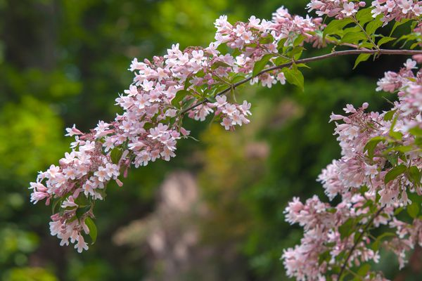 Beauty bush with small white and pink flowers clustered over extending branches