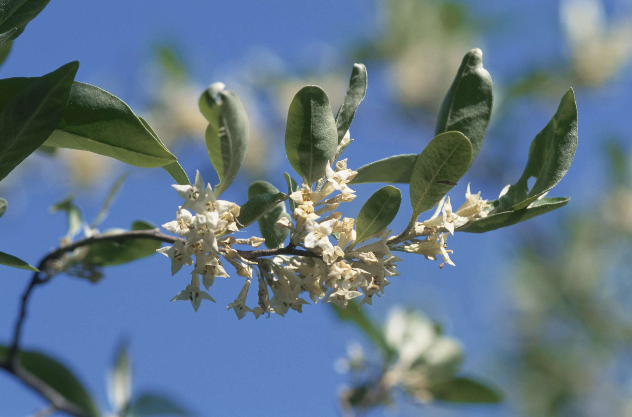 Autumn olive in bloom.