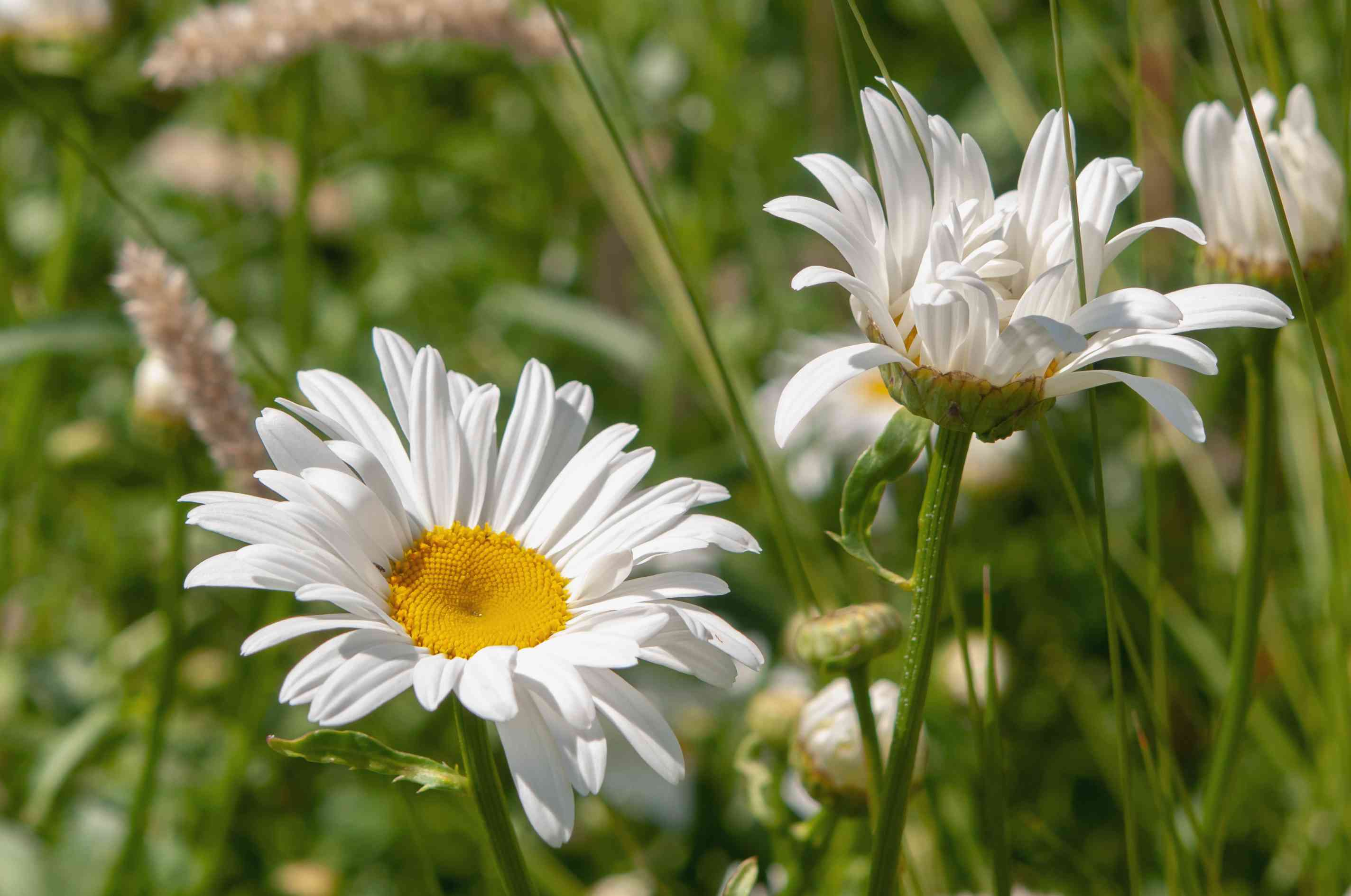 Shasta daisies with white flowers in sunlight closeup