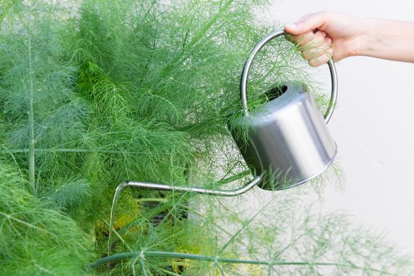 person watering fennel