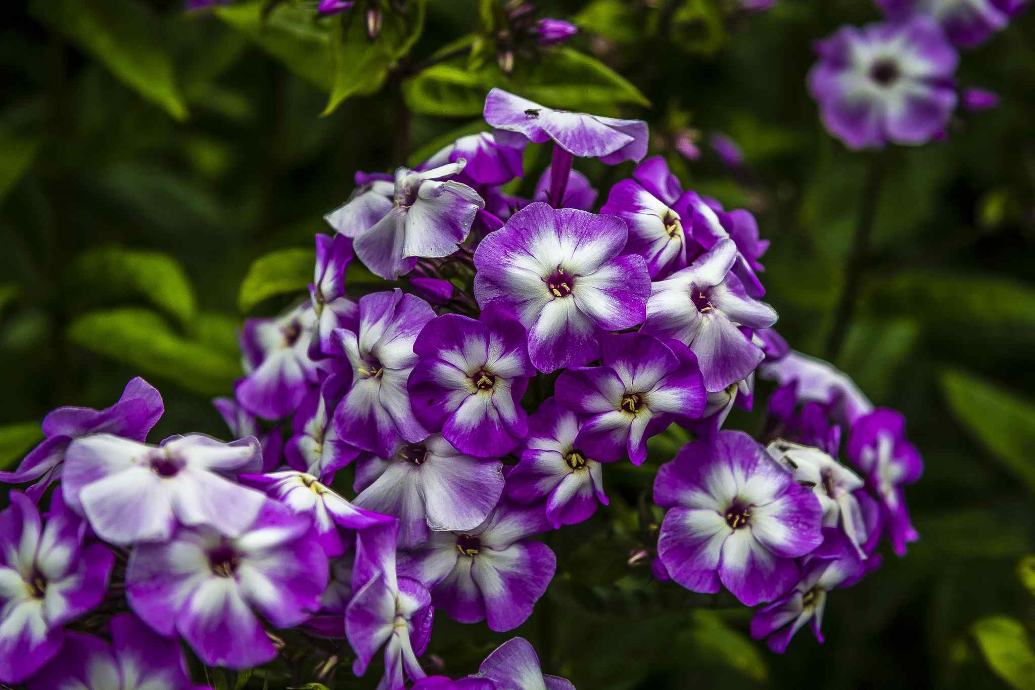 Phlox paniculata 'Little Boy' with its bicolored flowers.