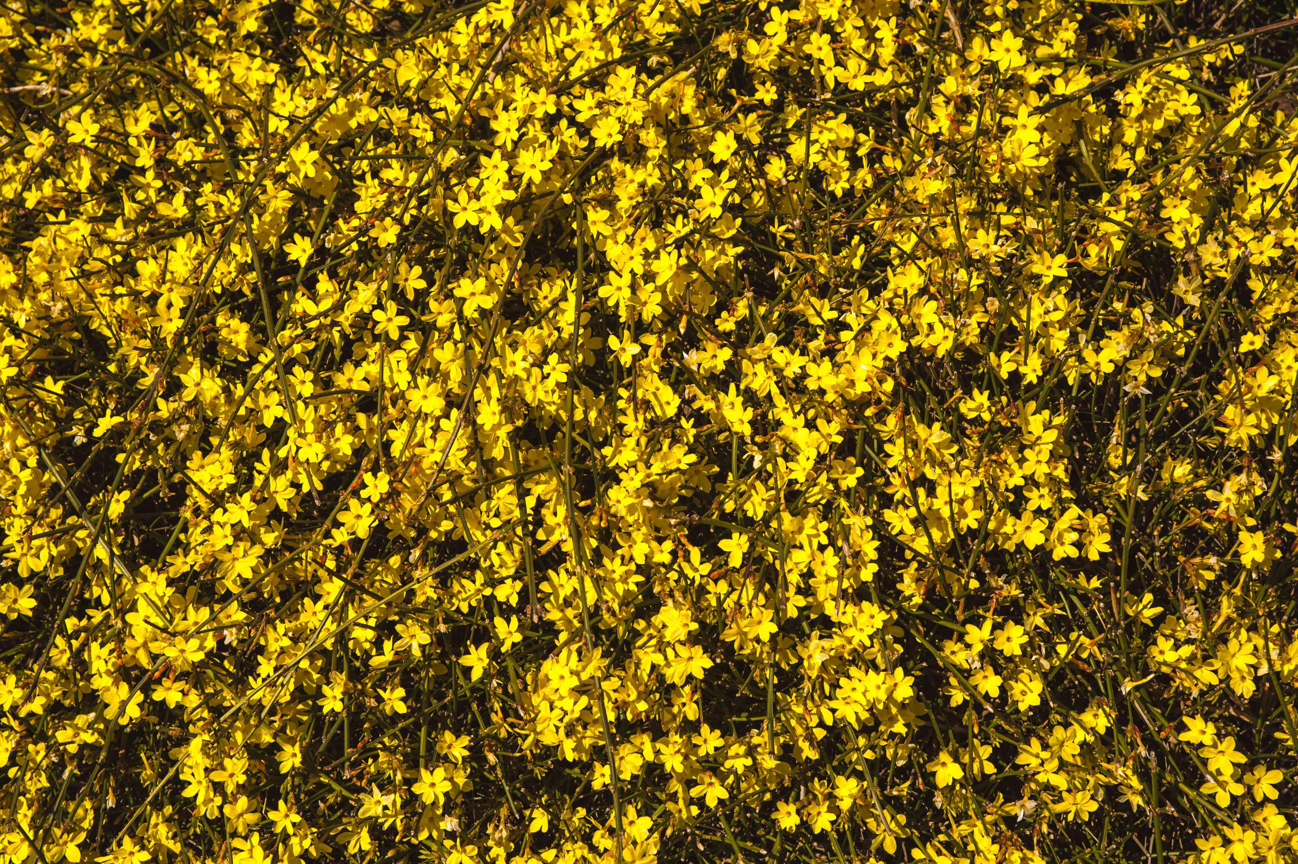 Winter jasmine vines full of yellow flowers