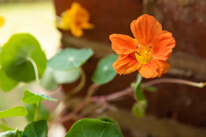 closeup of a nasturtium flower