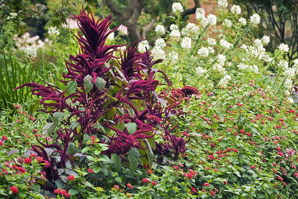Amaranthus cruentus Foxtail, Lantana camara Confetti and Cleome hassleriana in summer border