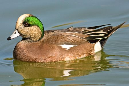 5fc0400d984 Pictures of Ducks - Photo Gallery