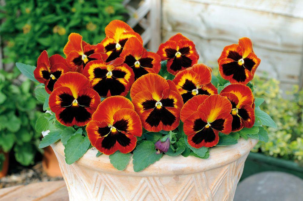 'Matrix Solar Flare' pansies with orange and dark-brown coloring