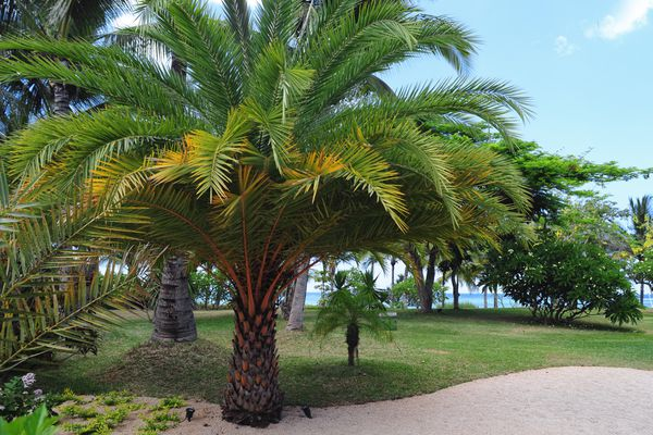 Date palm tree near beach and sanded pathway