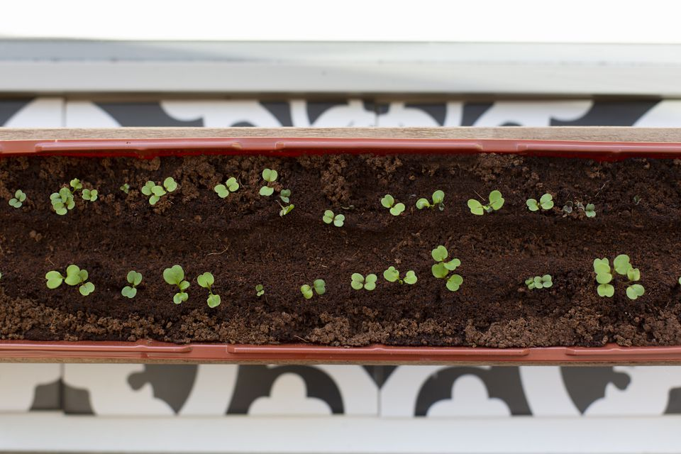 seedling planter with coffee grounds sprinkled on top