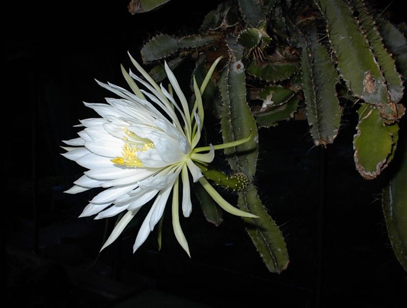Example of the flower on the Dog Tail Cactus