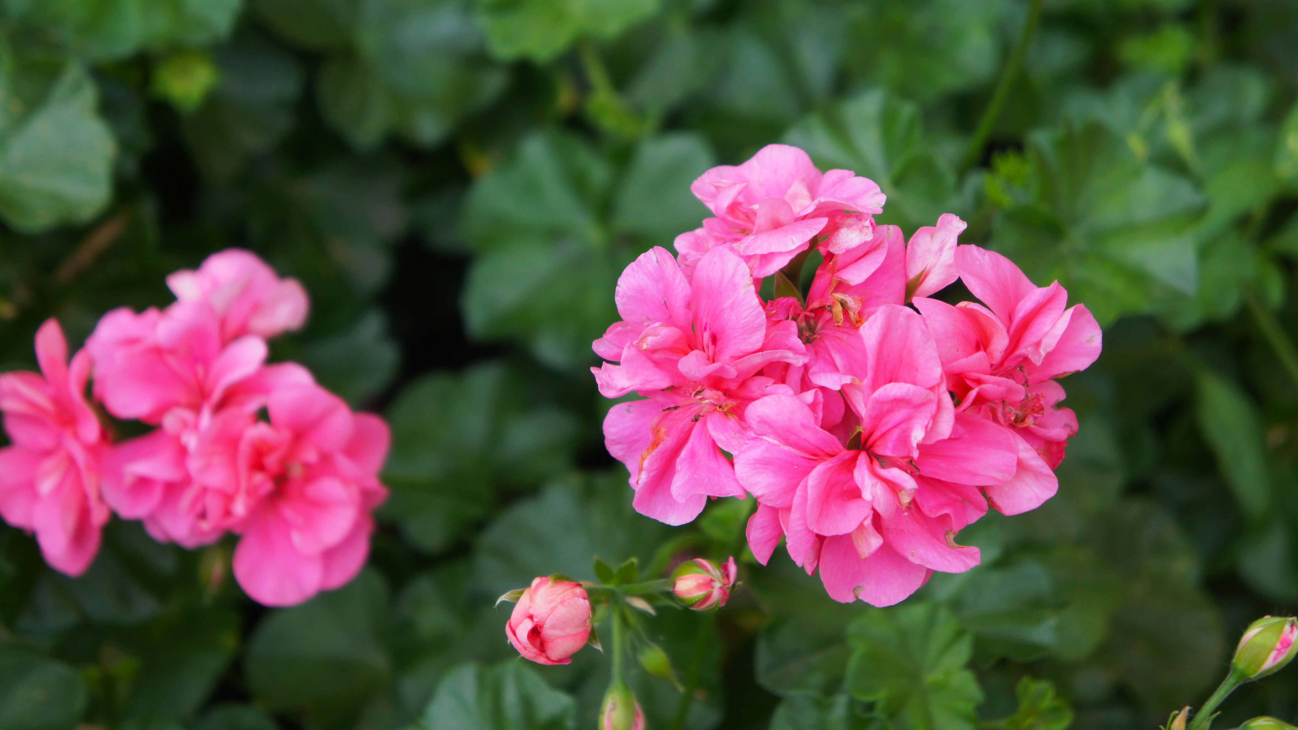 Growing Zonal Geraniums Pelargonium