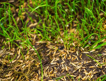 Fall Lawn Overseeding To Repair Gr