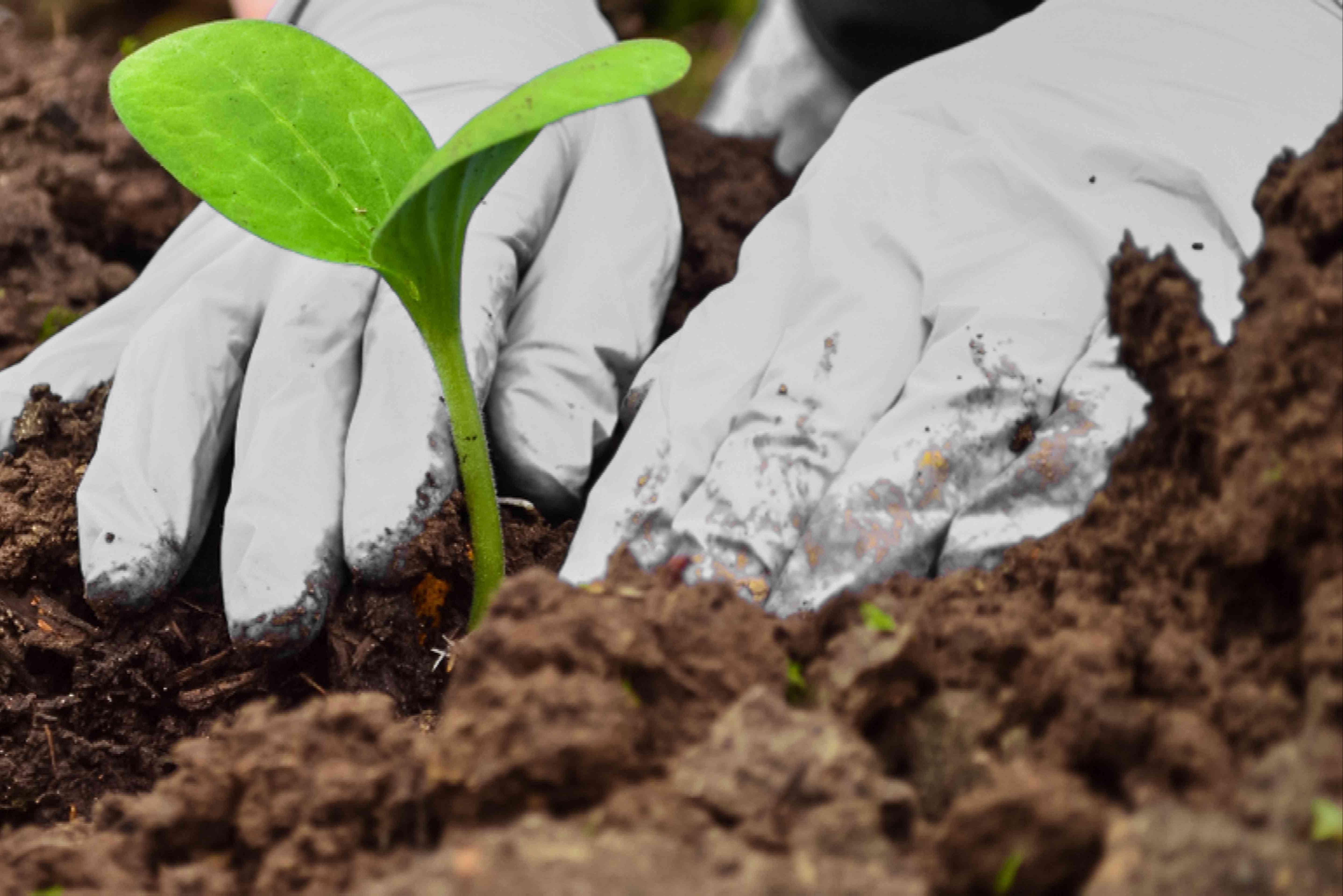 planting a zucchini transplant
