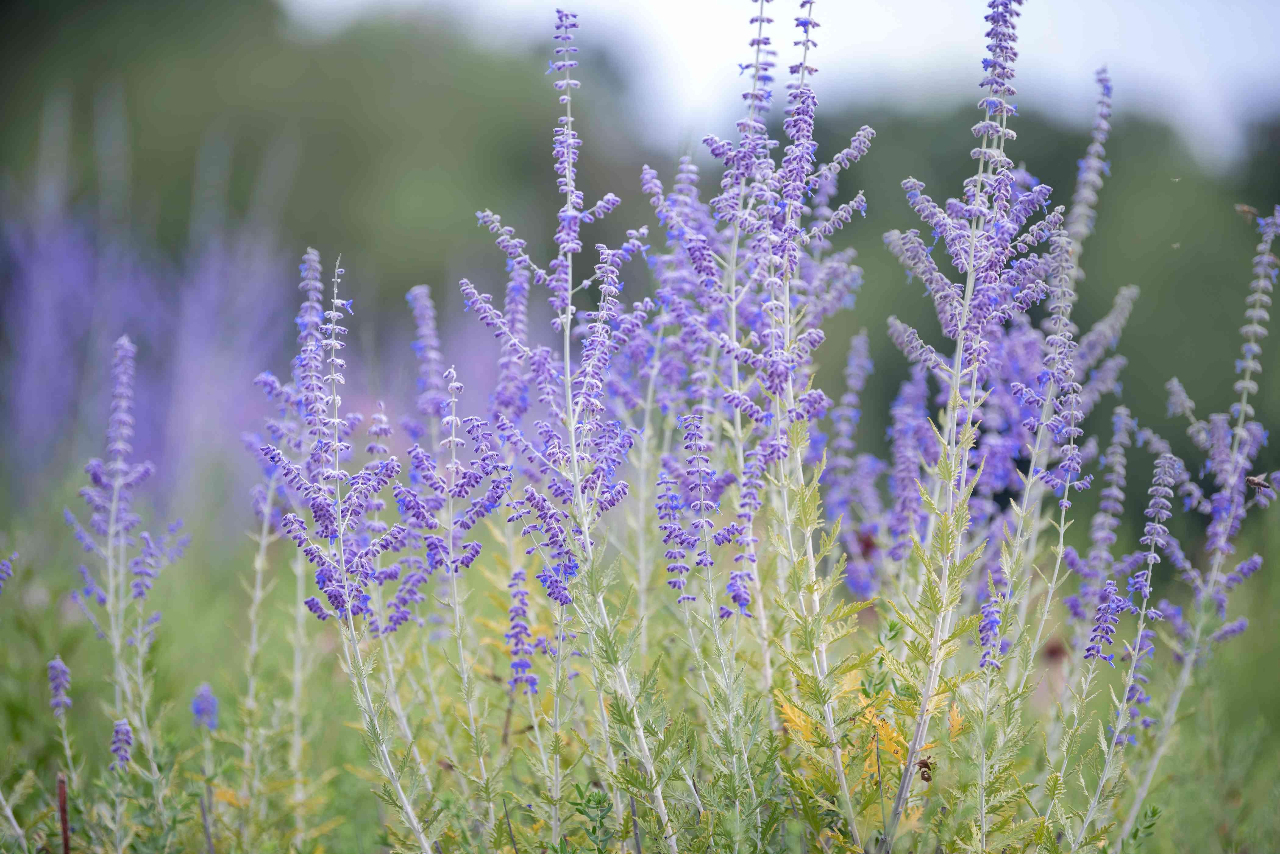 Russian sage shrub stems with silvery-green leaves below purple flower stalks closeup