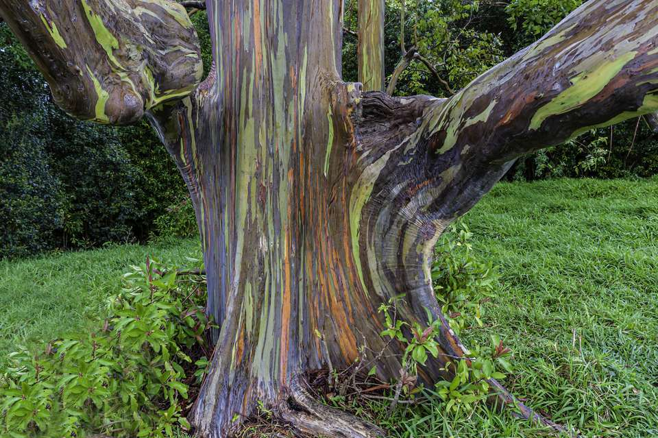 The trunk of a Eucalyptus deglupta. A tall tree, commonly known as the Rainbow Eucalyptus, the Mindanao Gum, or the Rainbow Gum