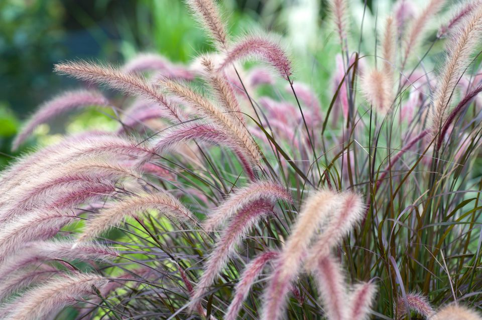 Fountain grass perennial plants with tan and pink plumes in garden