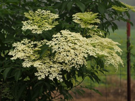 Cers Of Dainty White Flowers Are Formed On The American Elderberry