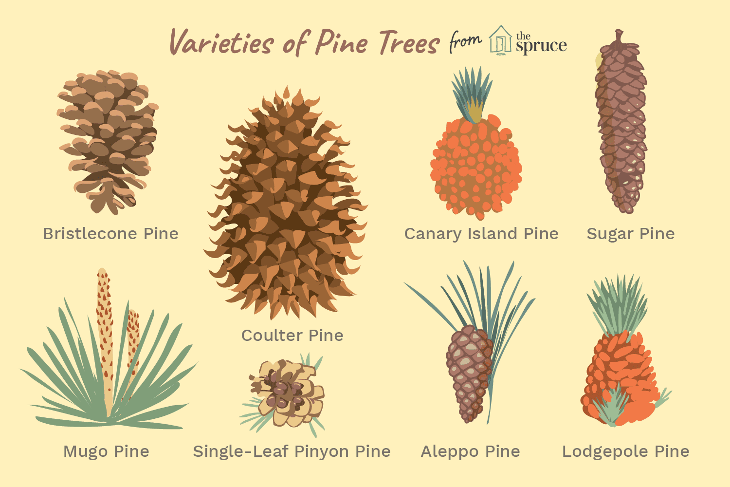 40 Species Of Pines From Around The World