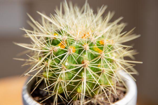 closeup of a golden barrel cactus