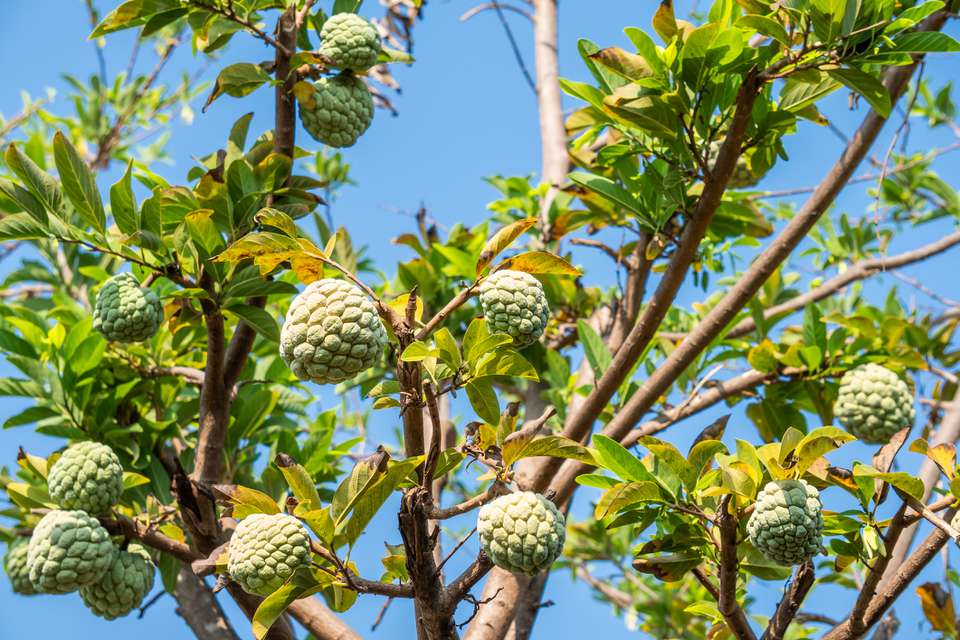The interesting tropical fruit of the Cherimoya tree.
