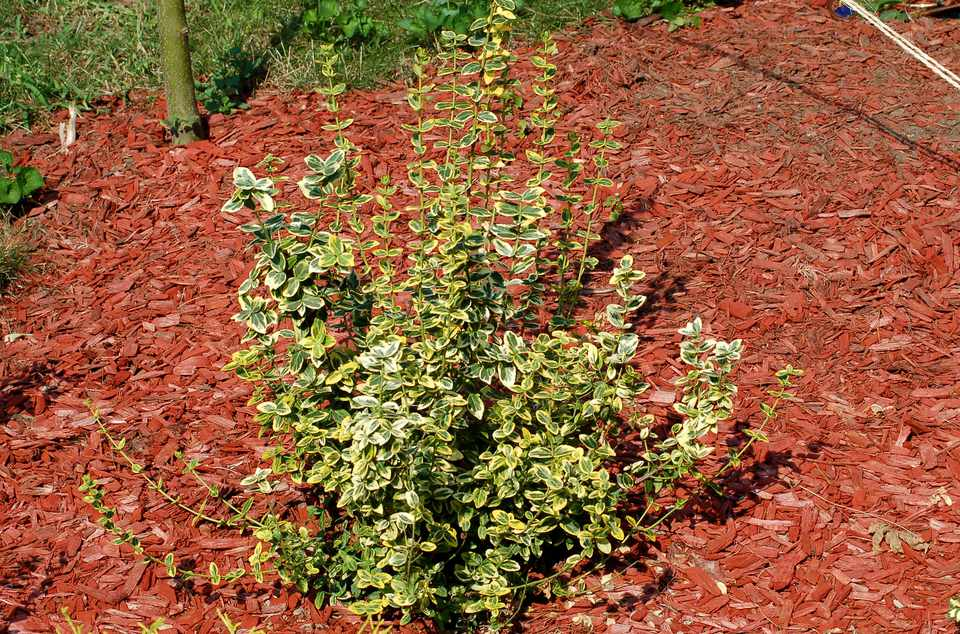 Emerald N Gold Shrub Surrounded By