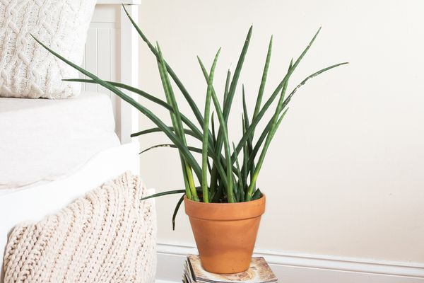 sansevieria cylindrica by the bed