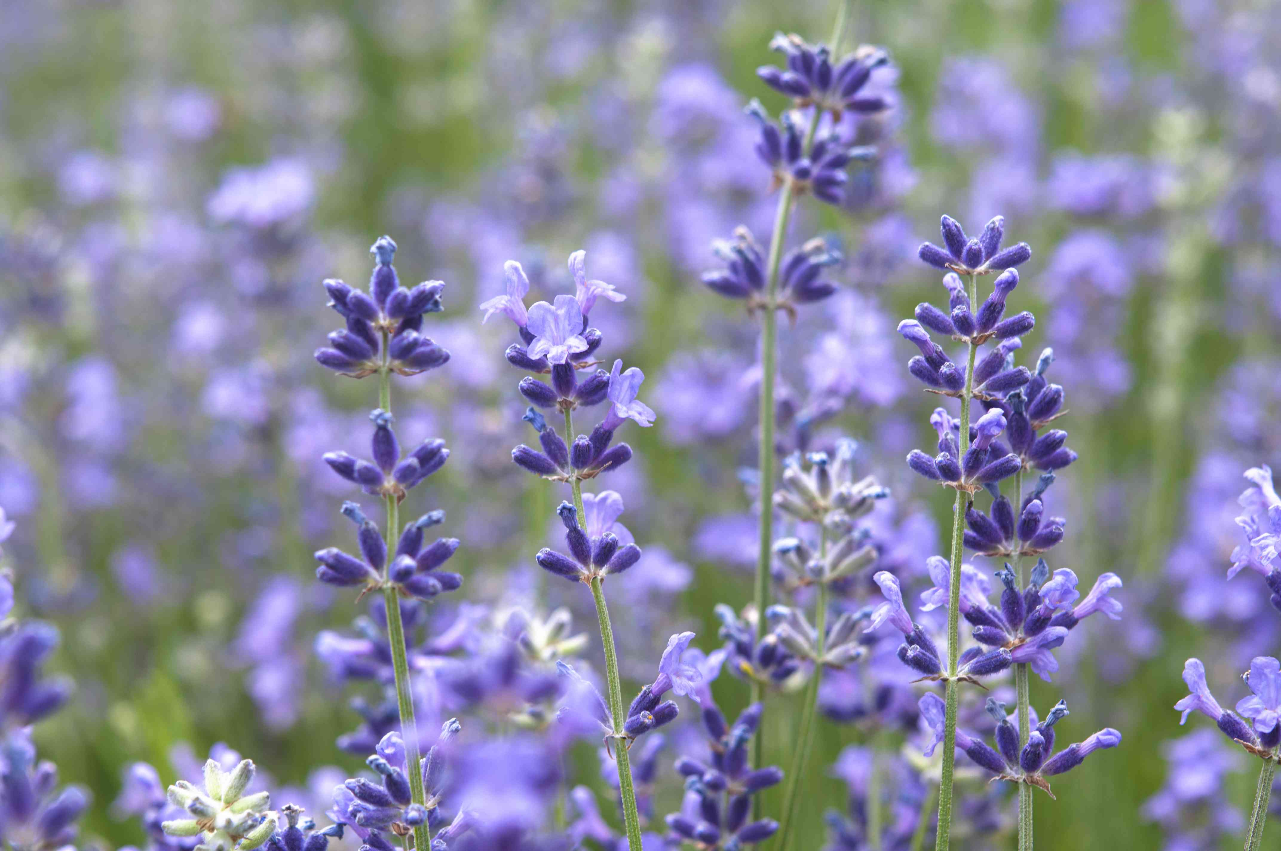 Munstead lavender plant with small purple blooms on thin stems closeup
