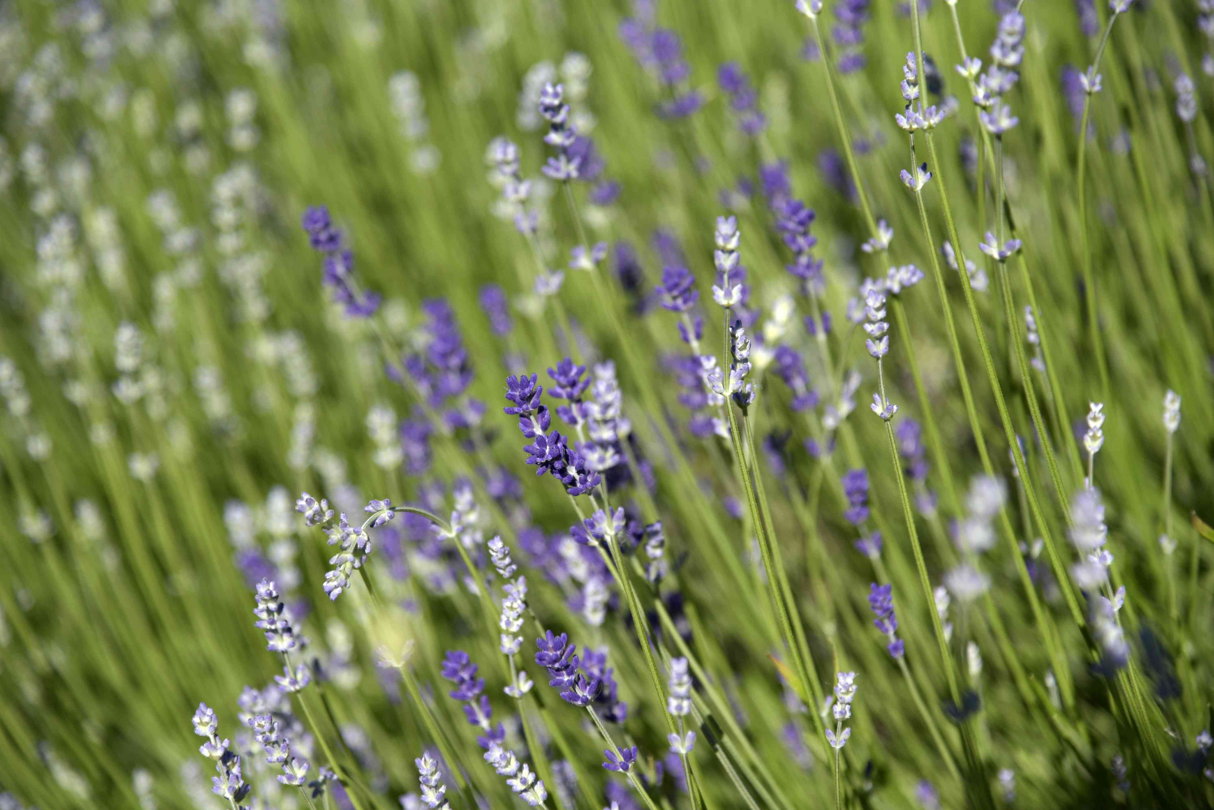 Munstead lavender plant with long thin stems and small purple and light purple blooms in sunlight