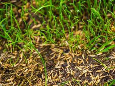 Pennington Smart Seed Dense Shade Mix Review