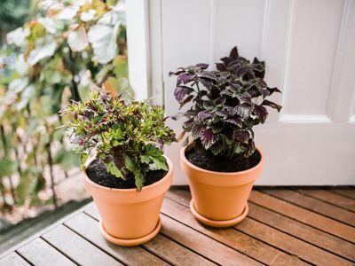 potted coleus plants