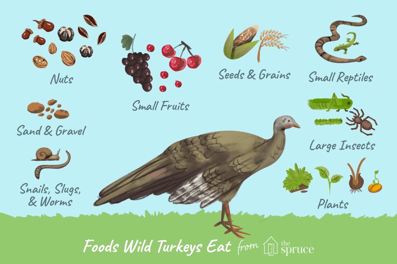 d220717fe7 What Do Wild Turkeys Eat  - Feeding Birds