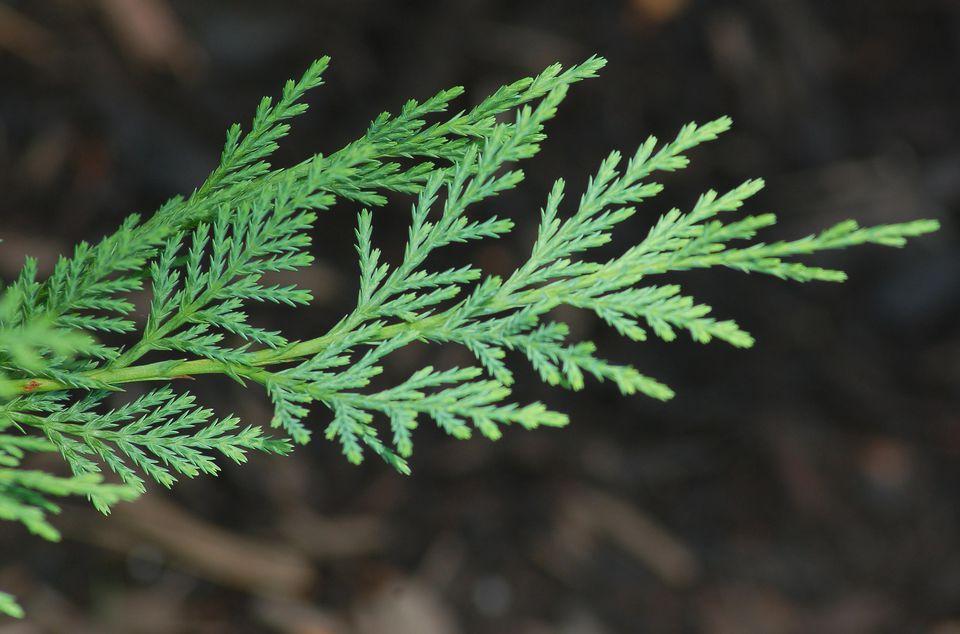 Closeup of Leyland cypress tree foliage