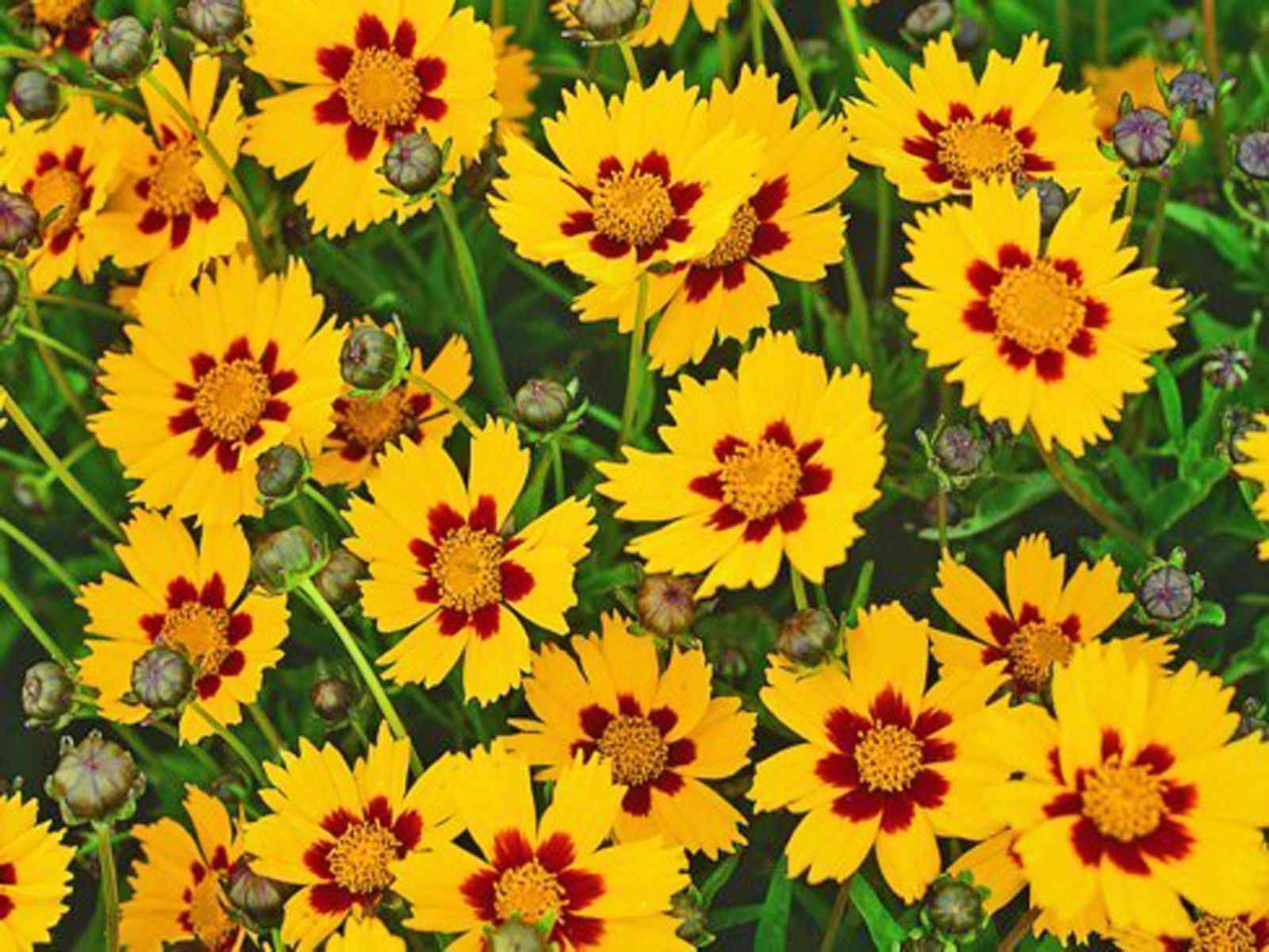 Choosing a Coreopsis for Your Garden
