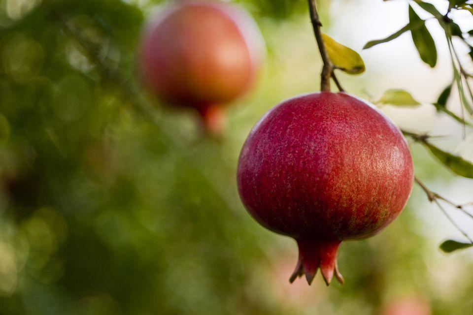 USA, California, San Benito County, Ripe pomegranates on tree