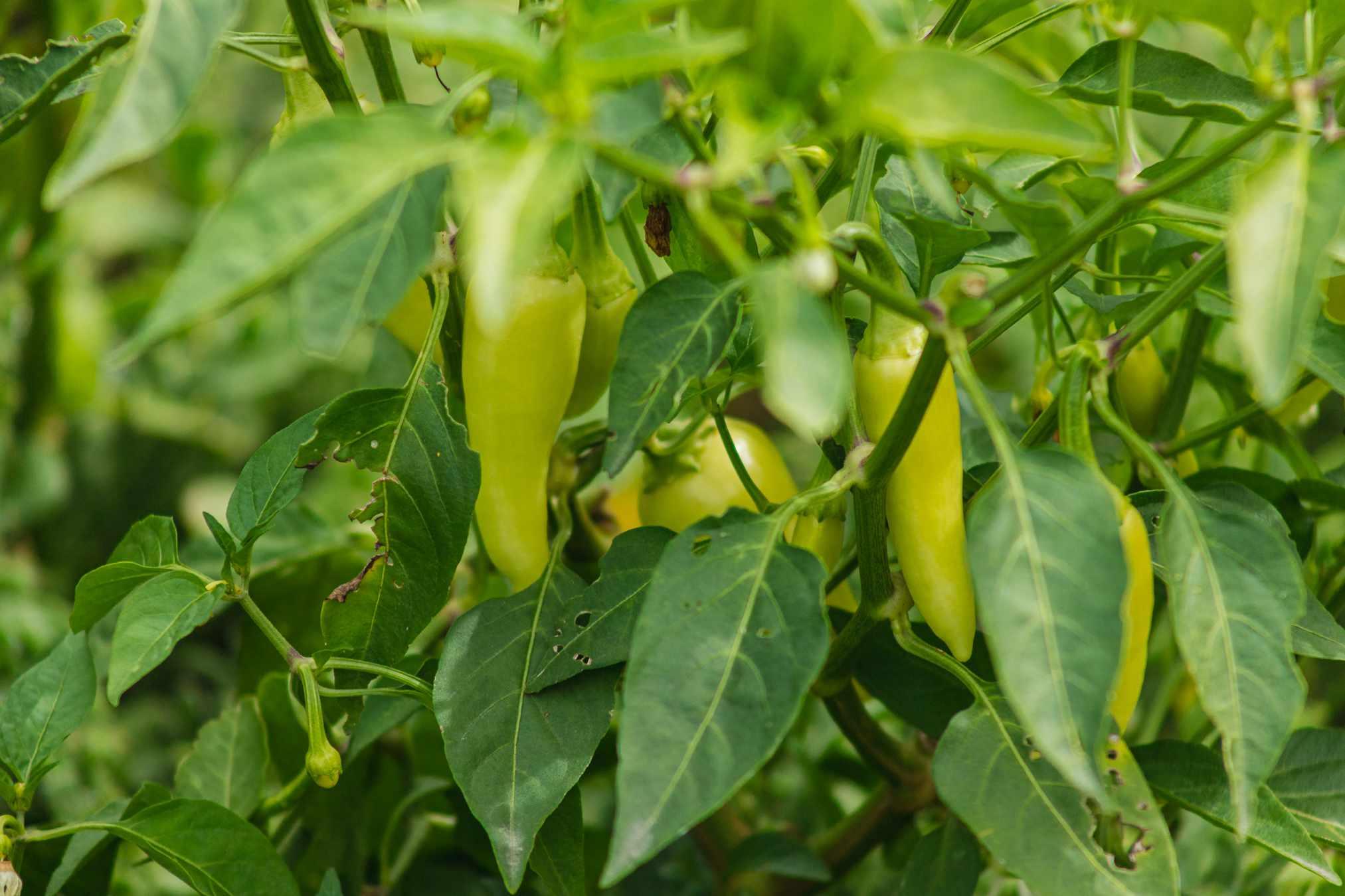 jalapeño peppers growing