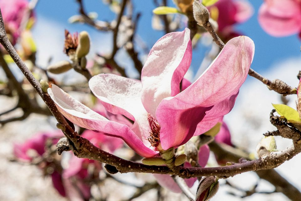 Magnolia 'Jane' shrub branch with large pink and white flowers and buds